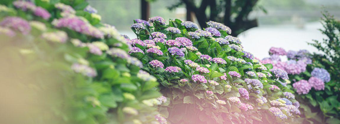初立池の紫陽花